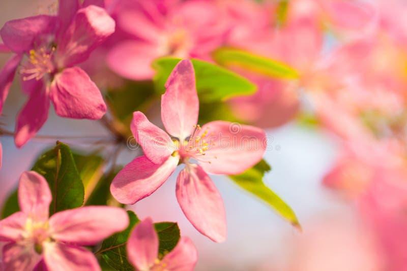 Ramo de árvore bonito da cereja de japão completamente da flor cor-de-rosa fotografia de stock