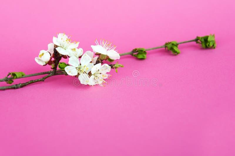 Ramo de ?rvore bonito da ma?? no fundo cor-de-rosa Flores cor-de-rosa bonitas da mola Flores brancas Fim da flor da cereja acima  fotografia de stock royalty free