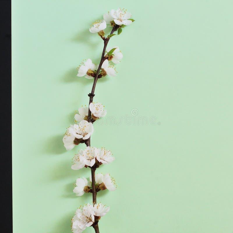 Ramo de árvore bonito elegante à moda da maçã com as flores brancas na luz delicada - fundo verde Mola do †simbólico do conceit foto de stock royalty free