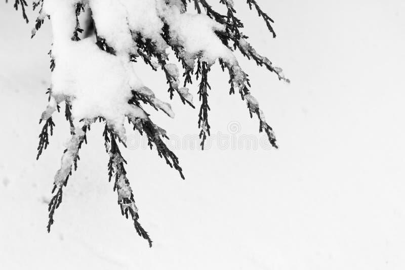 Ramo de árvore coberto de neve imagens de stock