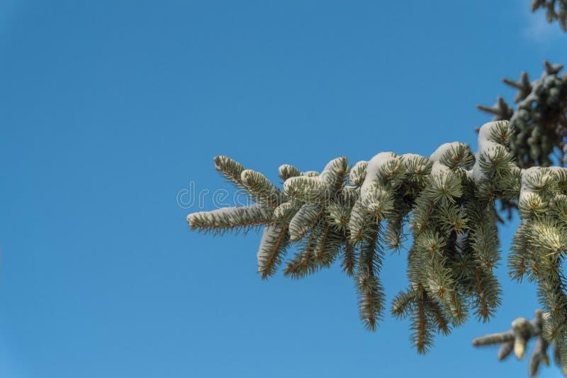 Ramo de árvore coberto de neve do abeto vermelho fotos de stock royalty free
