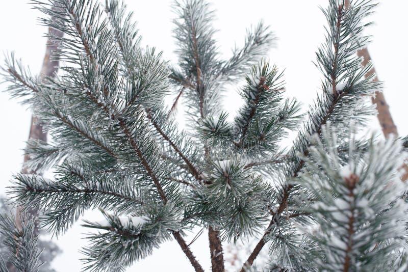 Ramo de árvore coberto de neve no parque, frio tonned Conceprt do inverno imagens de stock