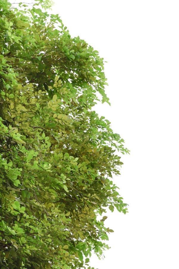 Download Ramo De árvore Com Folha Verde Foto de Stock - Imagem de crescimento, ambiente: 80102980