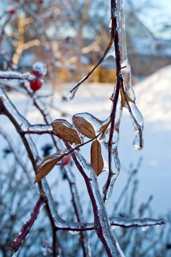 Ramo de árvore com sincelos após a chuva de congelação fotografia de stock