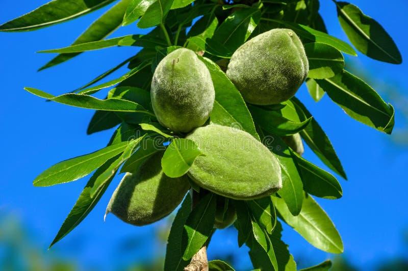 Ramo de árvore da amêndoa com frutos verdes fotos de stock royalty free