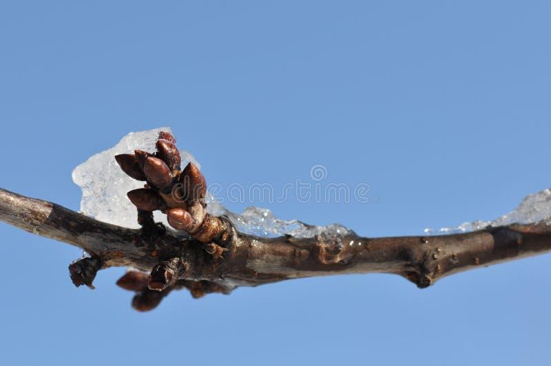 Ramo de árvore da cereja com neve fotografia de stock