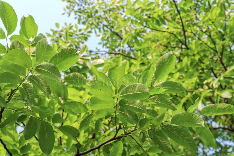 Ramo de árvore da noz com folhas verdes imagem de stock