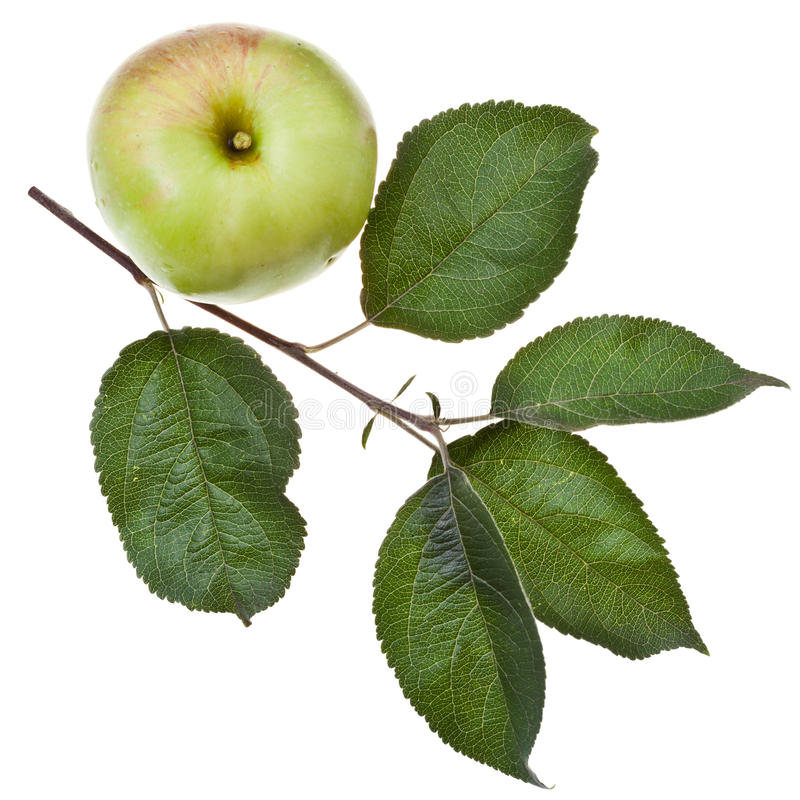 Ramo de árvore de Apple com folhas verdes foto de stock royalty free