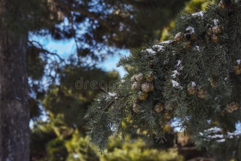 Download Ramo De árvore De Cypress Na Floresta Foto de Stock - Imagem de neve, festive: 65578128