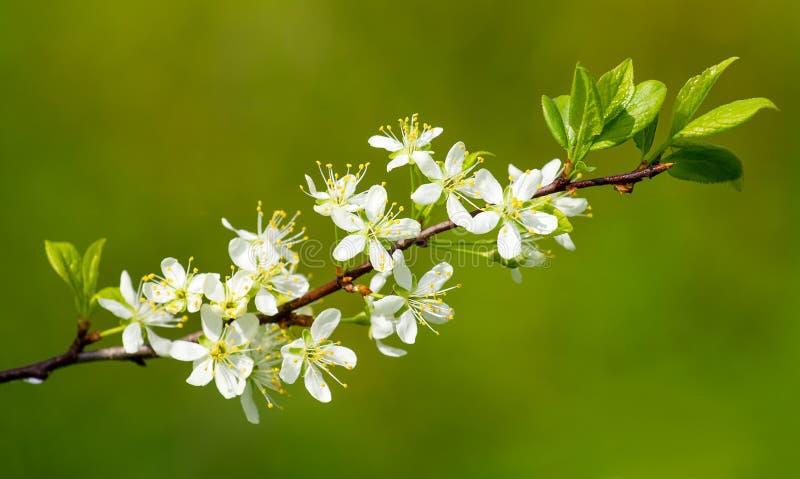 Ramo de árvore de florescência da ameixa foto de stock royalty free