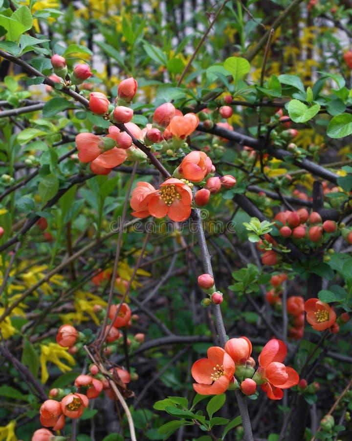 Ramo de árvore de florescência do marmelo japonês imagens de stock royalty free