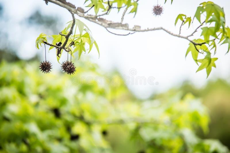 Ramo de árvore de Sweetgum (styraciflua do Liquidambar) imagens de stock