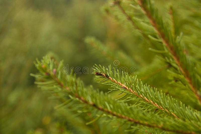 Ramo de árvore do abeto fotografia de stock royalty free