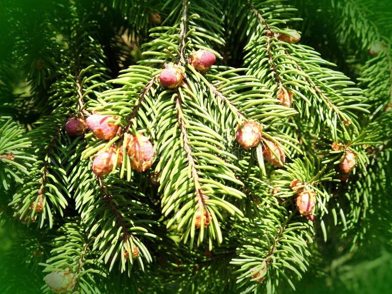 Ramo de árvore do abeto com cone, Lituânia fotos de stock