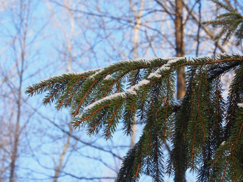 Ramo de árvore do abeto sob a neve fotos de stock royalty free