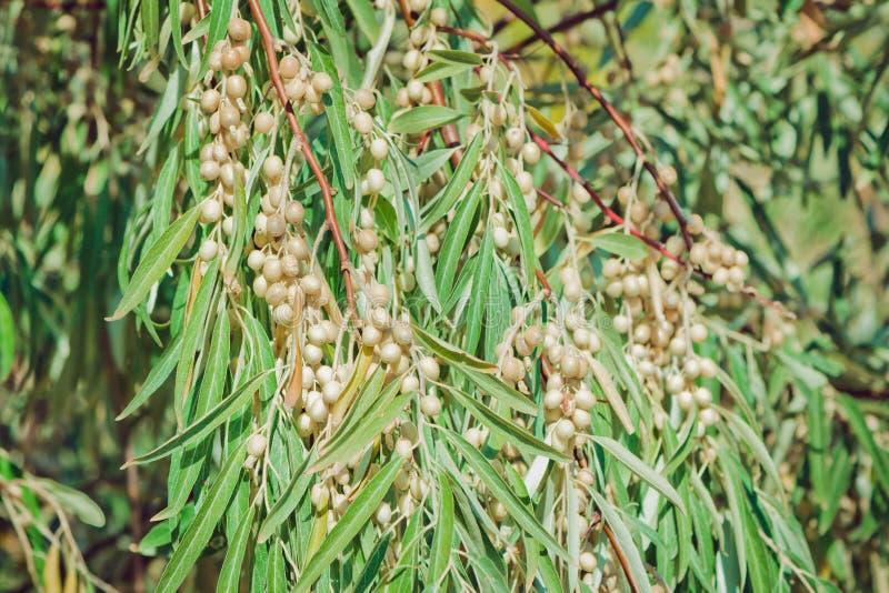 Ramo de árvore do angustifolia do elaeangus do Oleaster fotos de stock