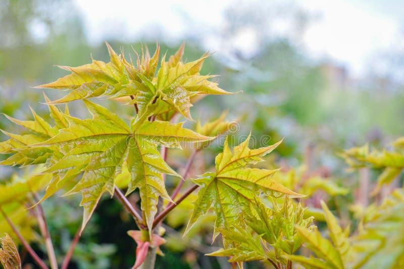 Ramo de ?rvore do bordo com as folhas de floresc?ncia novas no fundo borrado na mola fotos de stock