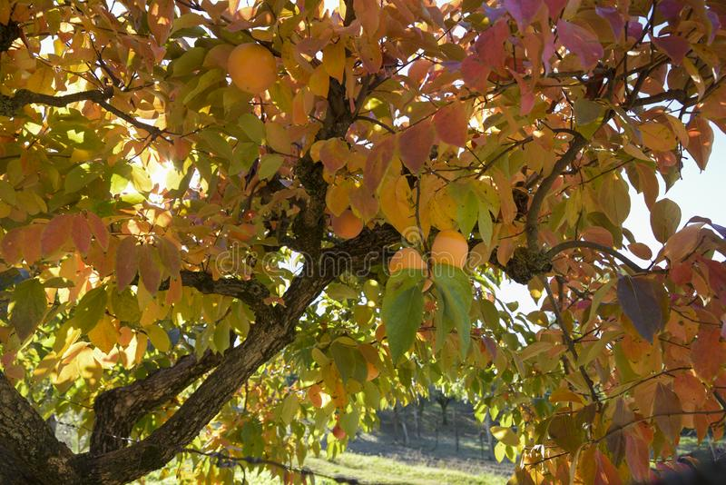 Ramo de árvore do caqui com frutos maduros no outono imagem de stock royalty free