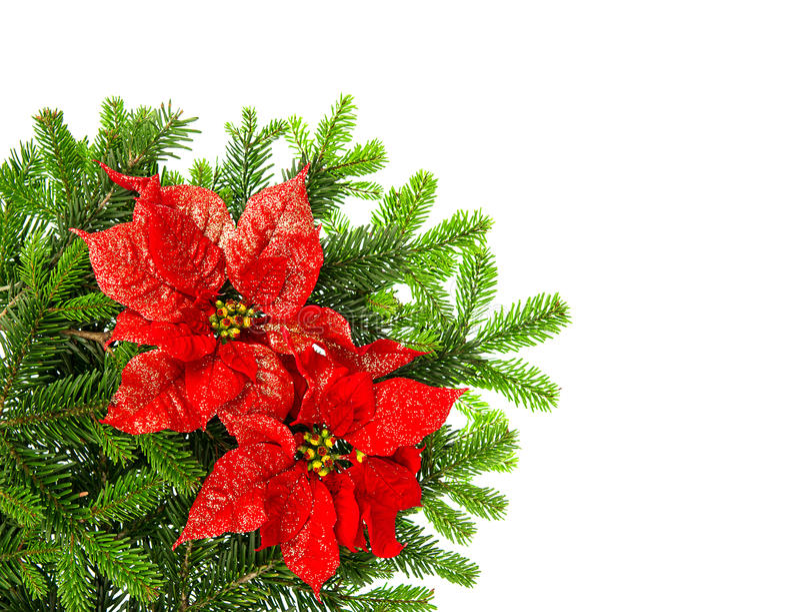 Ramo de árvore do Natal com a flor vermelha da poinsétia sobre o branco imagem de stock