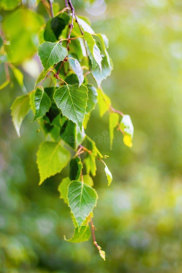 Ramo de árvore do vidoeiro com as folhas frescas na mola ou no verão back fotos de stock