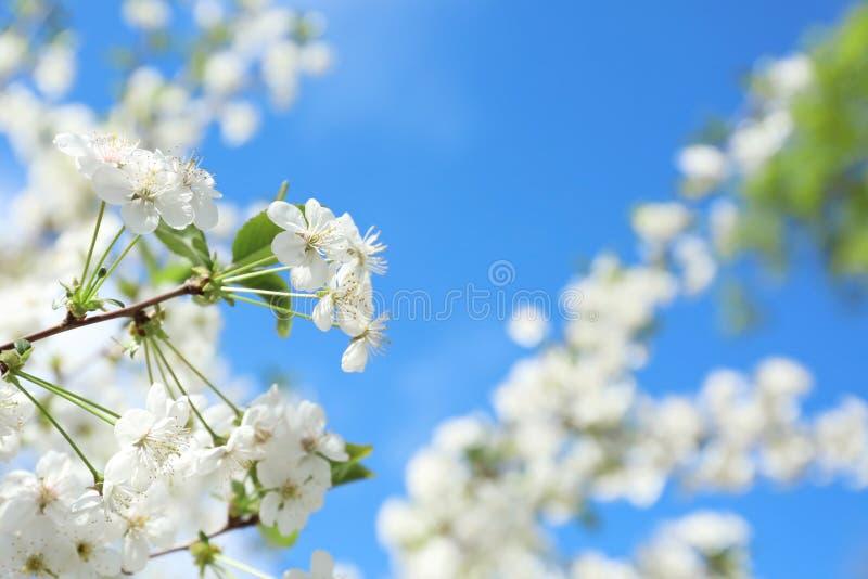 Ramo de árvore de florescência bonito contra o céu azul fotos de stock
