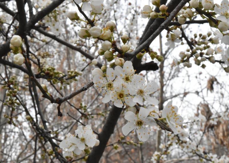 Ramo de árvore florescido foto de stock