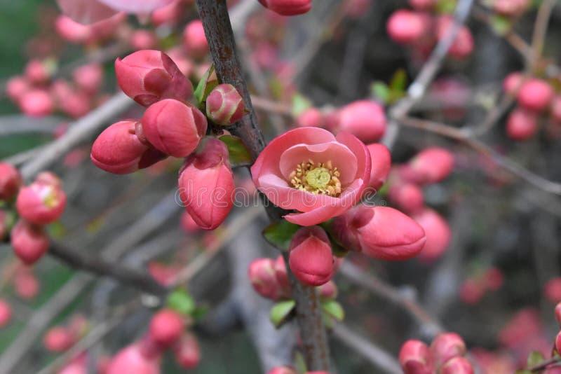 Ramo de árvore florescido imagens de stock