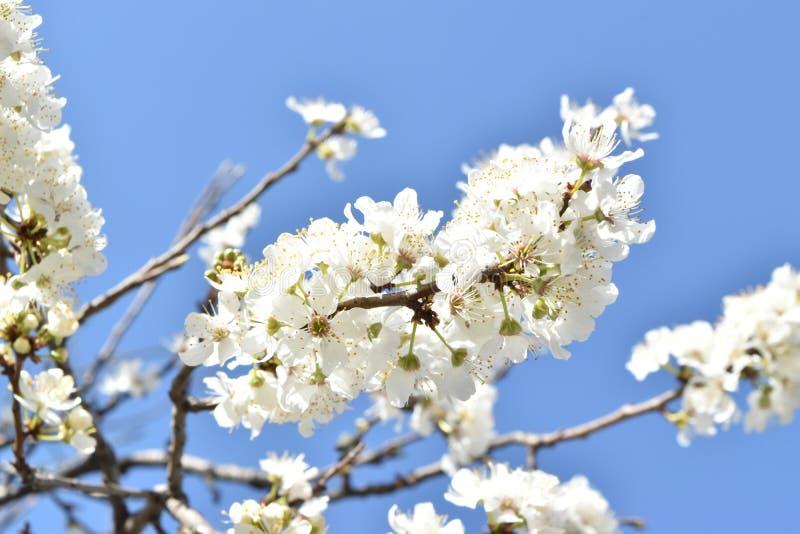 Ramo de árvore florescido fotografia de stock