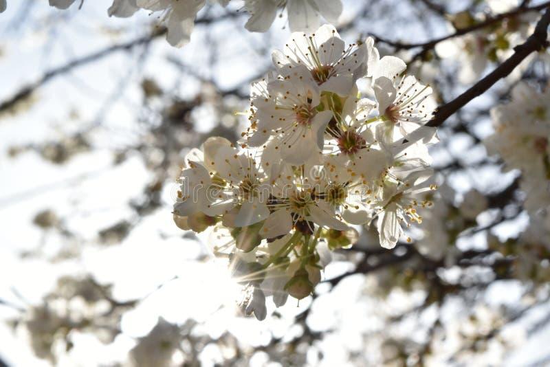 Ramo de árvore florescido imagem de stock