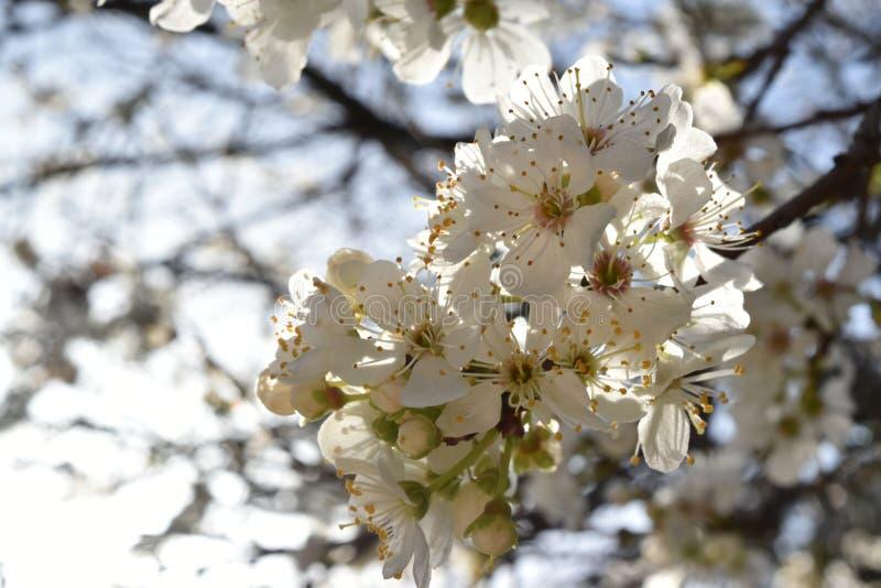 Ramo de árvore florescido imagens de stock royalty free