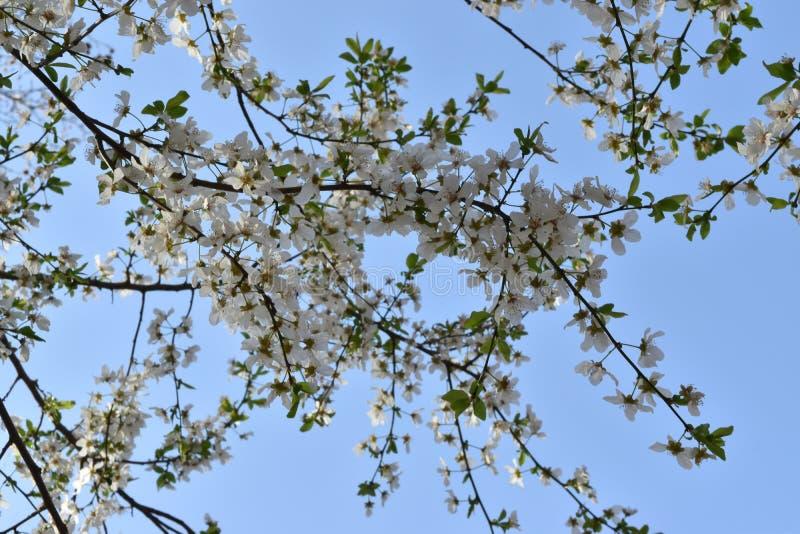 Ramo de árvore florescido fotos de stock royalty free