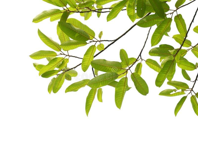 Ramo de árvore isolado fotografia de stock