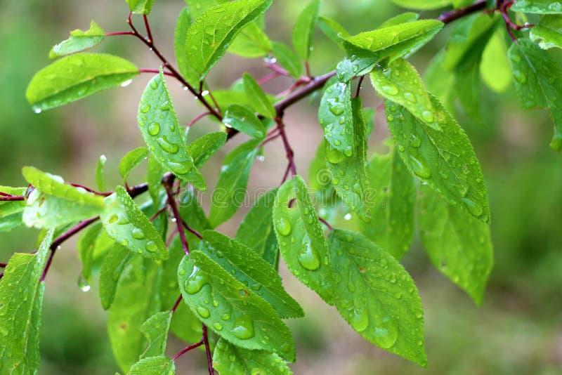 Ramo de árvore macro com pingos de chuva, orvalho no photogr do close-up das folhas fotografia de stock royalty free