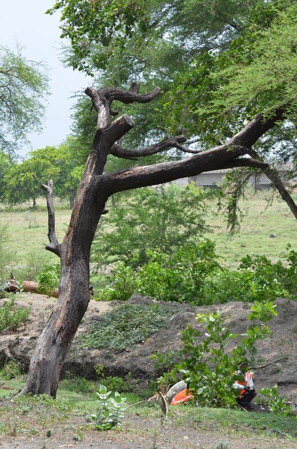 Ramo de árvore de Nim fotos de stock