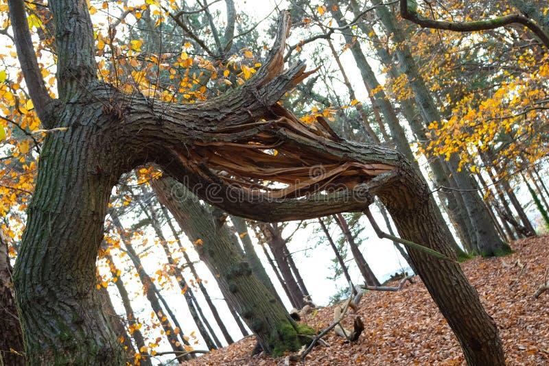 Ramo de árvore quebrado nas madeiras fotografia de stock