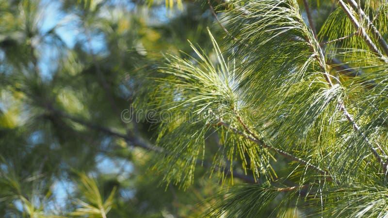 Ramo de árvore sempre-verde da floresta da mola e céu azul imagem de stock royalty free