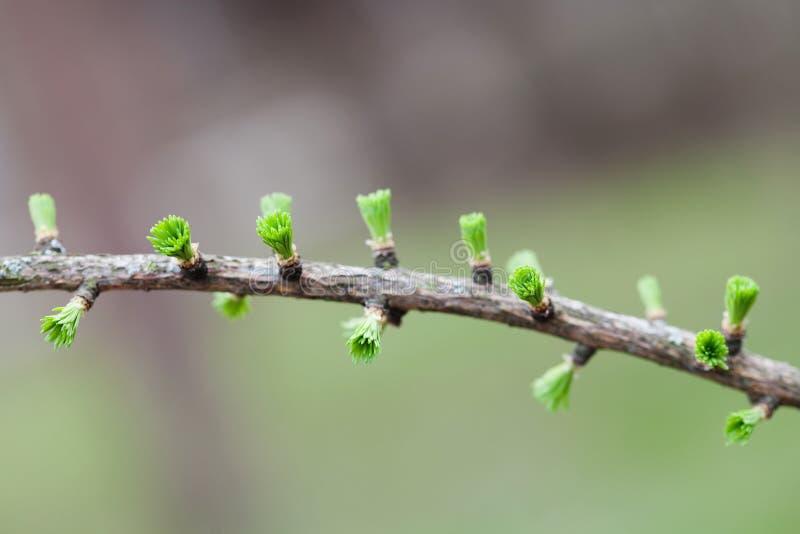 Ramo de árvore verde do abeto das hortaliças com botões e as agulhas pequenas O fundo e a floresta florais bonitos do tempo de mo imagens de stock