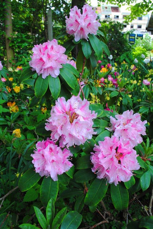 Ramo de brotes rosados en la exhibición floral imagen de archivo
