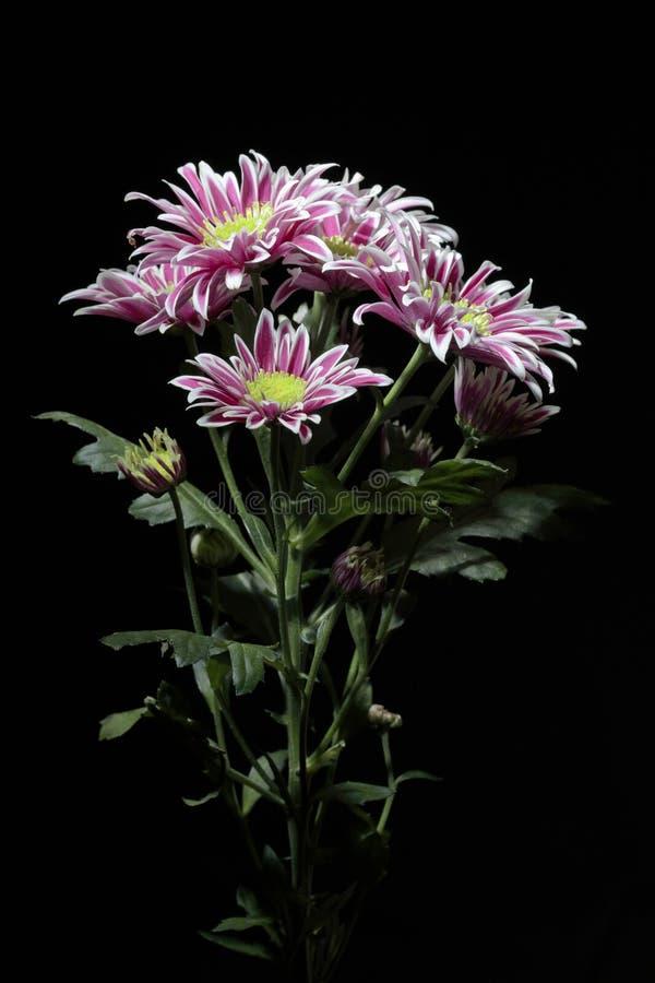Ramo de crisantemos con la iluminación del contraste en un fondo negro fotografía de archivo libre de regalías