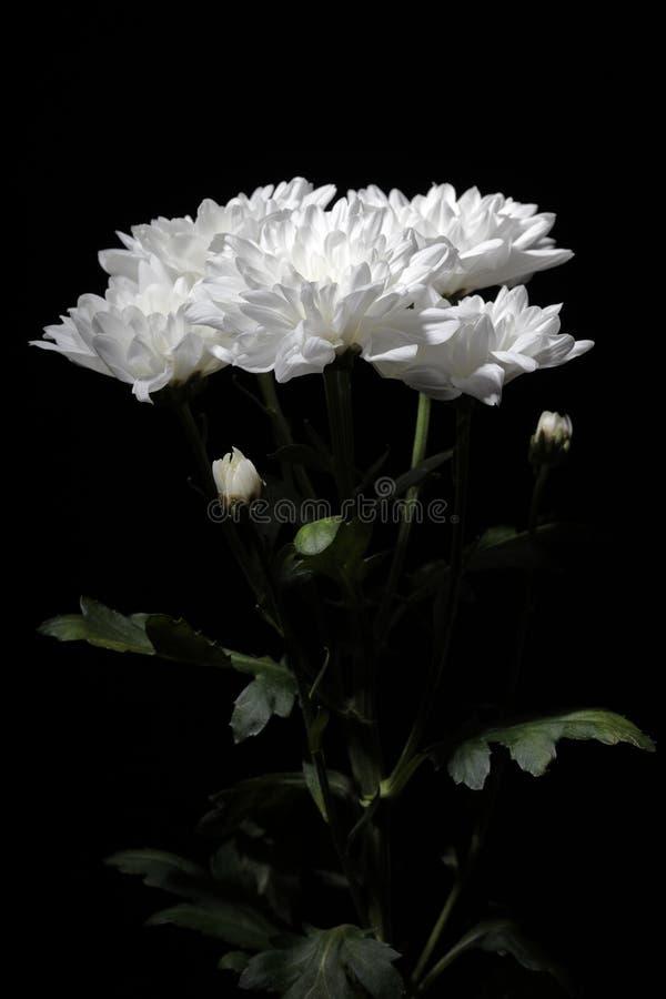 Ramo de crisantemos con la iluminación del contraste en un fondo negro imagenes de archivo