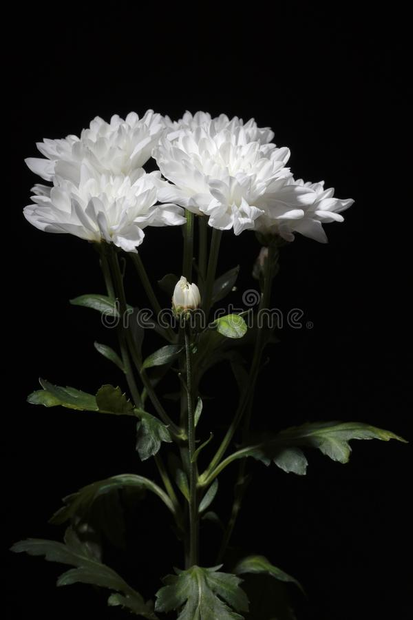 Ramo de crisantemos con la iluminación del contraste en un fondo negro imagen de archivo libre de regalías