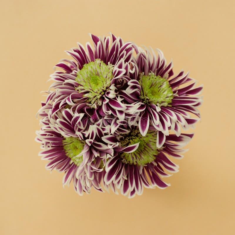 Ramo de crisantemos en un fondo en colores pastel del melocotón Endecha plana foto de archivo libre de regalías