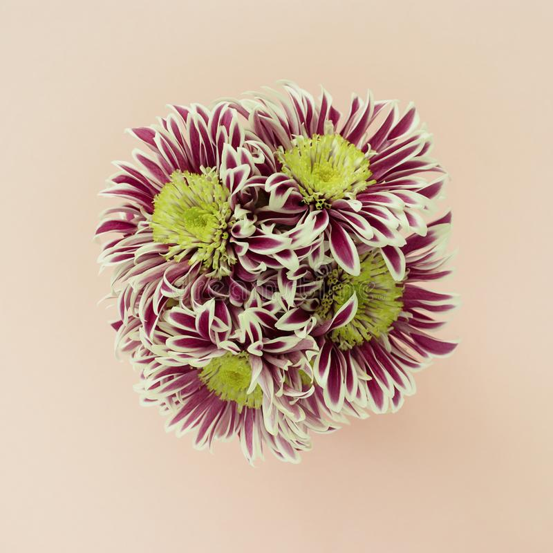 Ramo de crisantemos en un fondo pálido del pastel del melocotón Endecha plana imagen de archivo