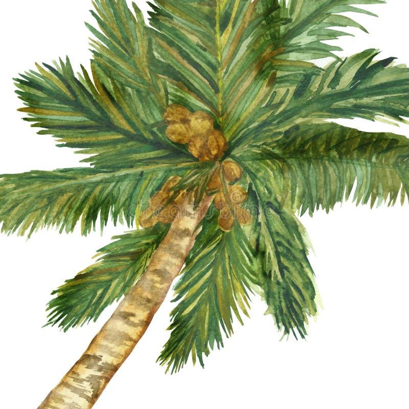 Ramo de eucalipto en un fondo blanco Ramas de la acuarela y hojas frescas del eucalipto ForWat pintado a mano de las plantas medi ilustración del vector