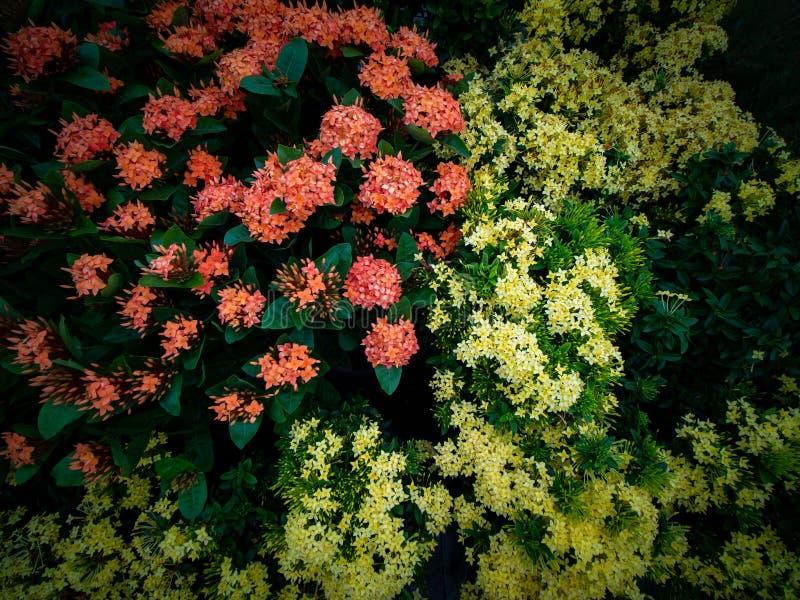 Ramo de floraci?n anaranjada y amarilla de las flores de Ixora foto de archivo libre de regalías
