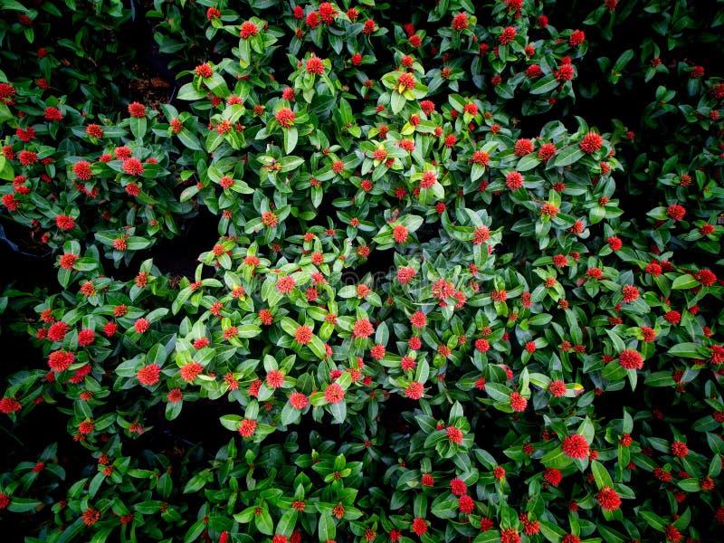 Ramo de floración roja de las flores de Ixora imagen de archivo