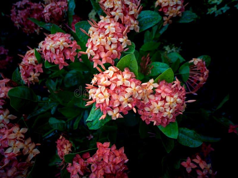 Ramo de flores anaranjadas de Ixora que florecen después de lluvia fotos de archivo libres de regalías