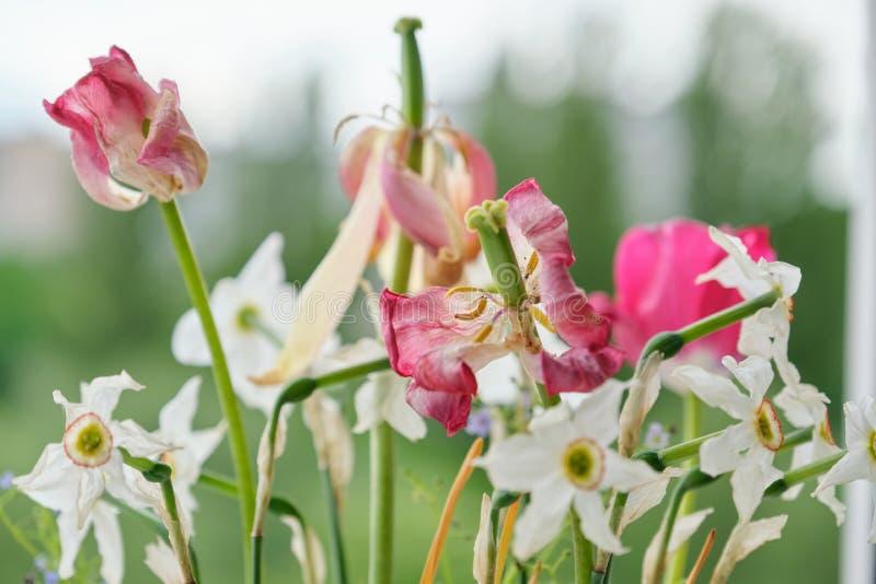 Ramo de flores descoloradas de la primavera, de tulipanes y de narcisos blancos secados imagen de archivo libre de regalías