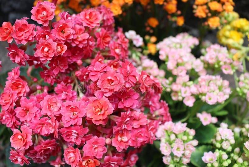 Ramo de flores minúsculas de la planta del kalanchoe imágenes de archivo libres de regalías
