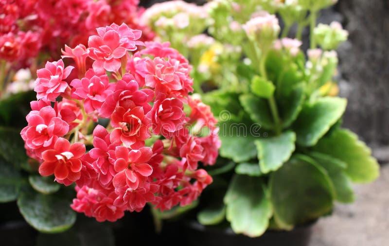 Ramo de flores minúsculas de la planta del kalanchoe fotografía de archivo libre de regalías